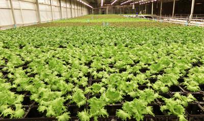 Shenandoah Growers BioFarm Mixed Lettuce
