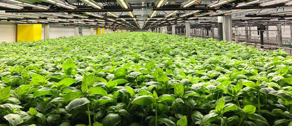 Shenandoah Growers BioFarm Basil Plants