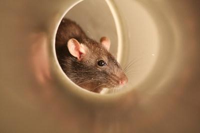 Las plagas de roedores más comunes en los Estados Unidos son el ratón doméstico, la rata noruega y la rata de los tejados.