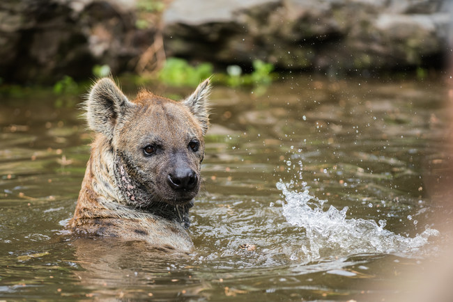 Hyena enjoying a swim
