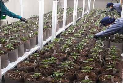 The Casa Flores team tending to the plants, for agronomic proof. (CNW Group/Ikänik Farms Inc.)