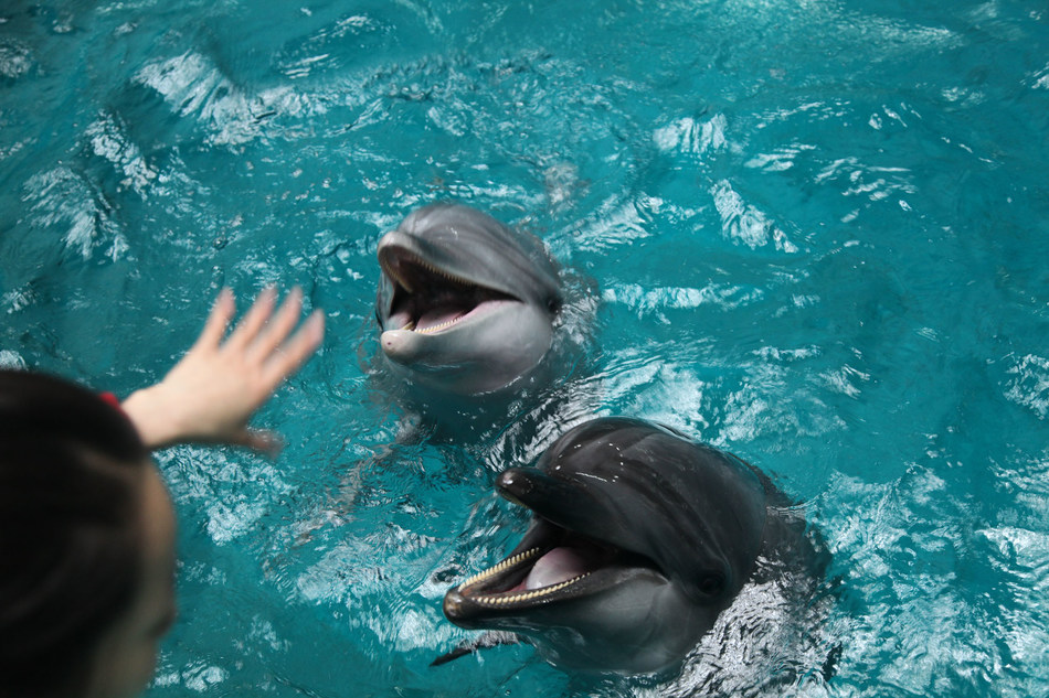 Public display facilities confining marine mammals such as dolphins, are not essential conservation or education resources. The animals suffer poor welfare as a result of their captive environment. Pictured; Dolphins posing for visitors at an entertainment park in China. Credit Line: World Animal Protection Date: 08/08/2019 (CNW Group/World Animal Protection)