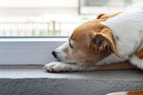 Dogs understand the emotional feeling of missing someone who is no longer a part of their daily lives. (CNW Group/Canadian Animal Health Institute)