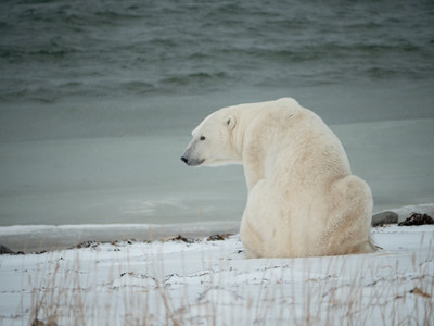 During the celebration guests enjoyed viewing polar bears along the coast of Hudson Bay. Polar bears in this region are forced to fast on land when the sea ice melts in the summer months. This time of year provides unique viewing opportunities near the town of Churchill, Manitoba, Canada. This polar bear was photographed from a Tundra Buggy on November 3, 2019. Image credit: Kt Miller / Polar Bears International. (CNW Group/Polar Bears International)