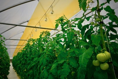 UbiQD's quantum dot-enabled retrofit greenhouse film, UbiGro™, deployed above a row of tomatoes in a commercial greenhouse in New Mexico. Credit: UbiQD, Inc.