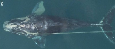 The SeaWorld & Busch Gardens Conservation Fund Commits $900,000 To Protect Critically Endangered North Atlantic Right Whales