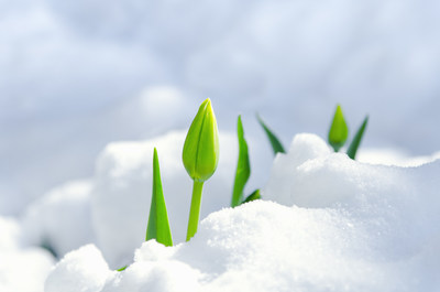En attendant le printemps 2020 (Groupe CNW/Festival canadien des tulipes)