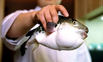 Exotic food such as pufferfish is an interesting attraction for today's foodie travelers