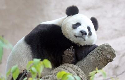 Cartaz de panda (PRNewsfoto/Hikvision)
