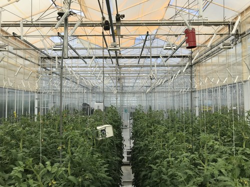 UbiQD's quantum dot-enabled retrofit greenhouse film, UbiGro™, deployed above rows of tomatoes in a research greenhouse in the Netherlands. Credit: UbiQD, Inc.