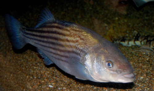 Striped Bass © Steven G. Johnson. Image taken from https://commons.wikimedia.org/wiki/File:Striped_bass,_Boston_Aquarium.JPG (license https://creativecommons.org/licenses/by/4.0/) (CNW Group/Committee on the Status of Endangered Wildlife in Canada)