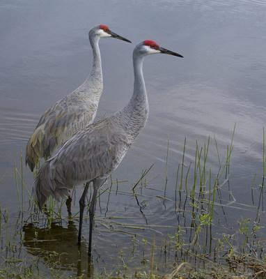 Sandhill cranes © Bob Blanchard (CNW Group/Ontario Nature)
