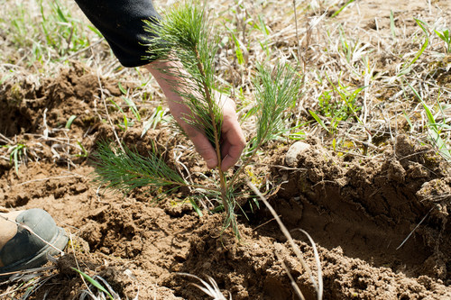 A seedling grown for the 50 Million Tree Program. (CNW Group/Forests Ontario)