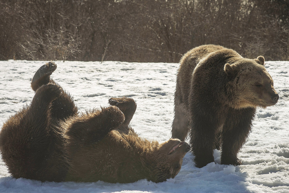 Two bears play in the snow at a sanctuary in Romania, funded by World Animal Protection. Date: February, 2017.  Credit: World Animal Protection (CNW Group/World Animal Protection)
