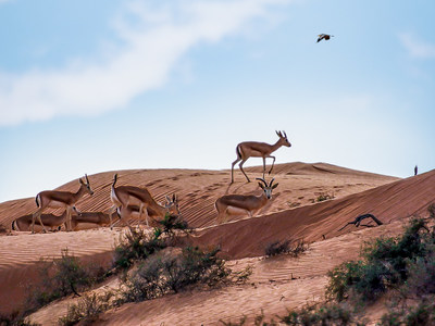 The Ritz-Carlton Ras Al Khaimah, Al Wadi Desert, Where Luxury and Nature Unite, Welcomes 80 New Gazelles as Part of Eco-Tourism Pledge
