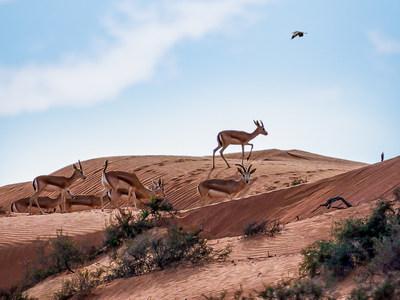 阿尔旺地沙漠哈伊马角丽思卡尔顿酒店迎来80只新瞪羚