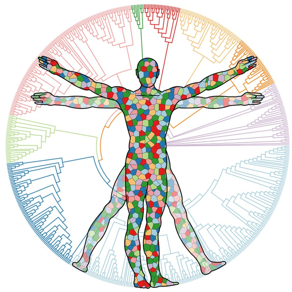 Vitruvian Man: Anelloviruses are commonly detected in the blood and tissues of most people throughout their lives. Individuals can harbor a variety of strains at any one time. Ring has identified thousands of unique anellovirus strains so far. (Image credit: Sigrid Knemeyer and Cesar Arze)
