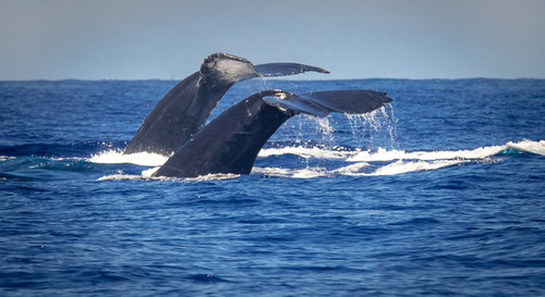 Experience humpback whales with Four Seasons Resort Maui.
