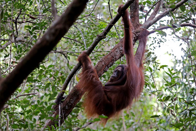 Rich -- the female orangutan is being released to the wild nature after rehabilitated under OFI.