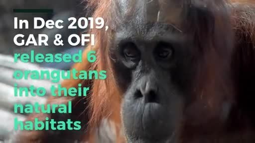 The Orangutans release in Central Kalimantan by OFI and GAR on 16-17 December 2019