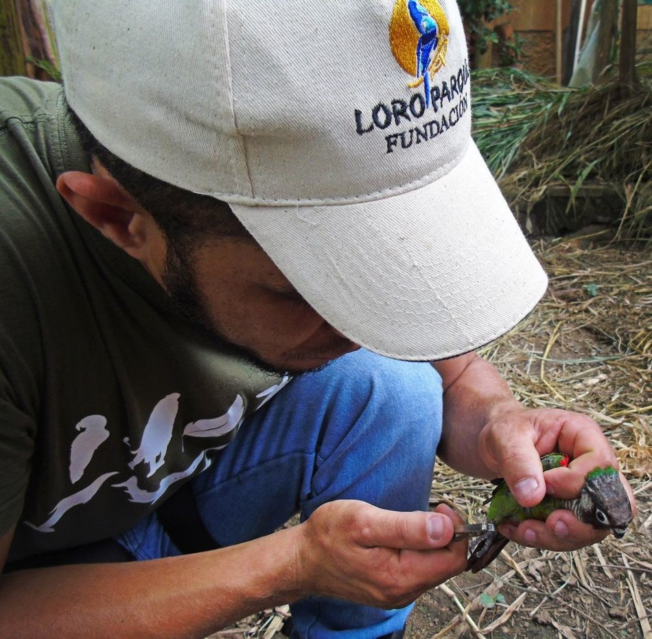A man places trackers on the parrots
