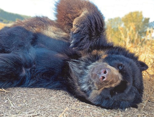 One of three Spectacled Bears rescued from a closed zoo in Argentina enjoying its natural habitat at The Wild Animal Refuge in Colorado.  It is the first time the bears have felt natural substrate under their feet.