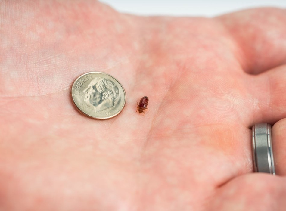 Bed bugs are typically 4-5 mm in length and red to dark brown in color.