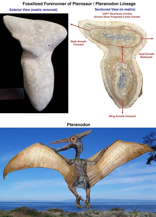 Pterosaur Forerunner Fossil