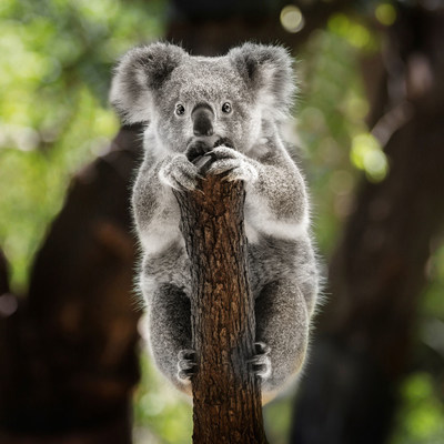 Morris Animal Foundation will allocate $1 million for scientific research grants to fund studies on how the country's wildfires affect its native animals, like koalas.
