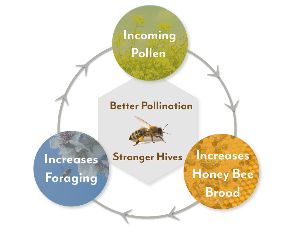 """PAm cover crops and seed mixes help """"jump start"""" the hive prior to the almond bloom by creating a positive feedback loop"""