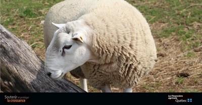 Plus de 3,3 millions de dollars en soutien aux producteurs d'agneaux grâce au Programme d'assurance stabilisation des revenus agricoles (Groupe CNW/La Financière agricole du Québec)