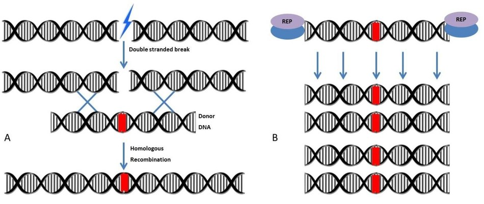 Figure 1. (A) The double –stranded breaks induced on the genome by nucleases are repaired by a homologous recombination mechanism that occurs between genomic DNA and donor DNA (B) A large number of donor DNA molecules are produced by Algentech's patented replication system (REP), thus contributing to the effectiveness of homologous recombination. (PRNewsfoto/ALGENTECH)
