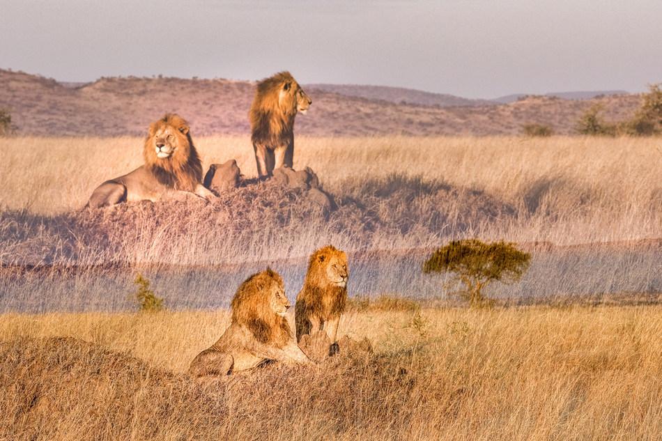 Using double exposure, Ruel merges distinct subjects to create unique perspectives. (Nicolas Ruel, Serengeti 31).