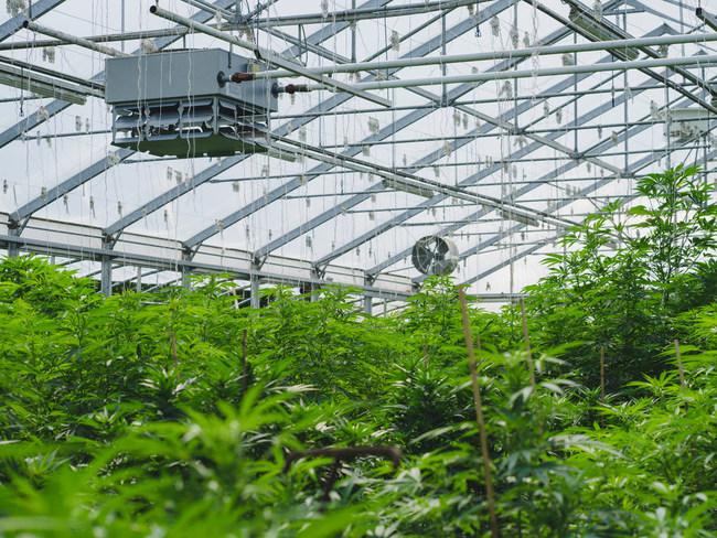 Organic Hemp CBD at Blosumcbd.com
