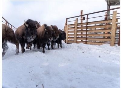 Bisons des bois dans l'installation de rassemblement des bisons des bois du parc national Elk Island. (Groupe CNW/Parcs Canada)
