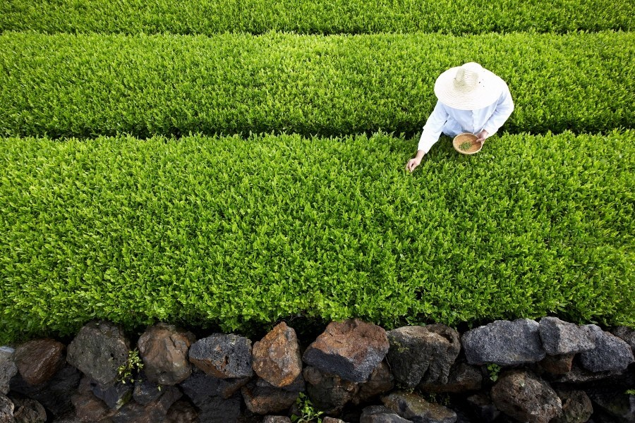 Amorepacific has been cultivating one million pyeong (about 3.3 million square meters) of organic green tea farm in Jeju, Korea.