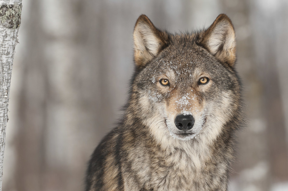 Feature article: Crying Wolf A government proposal casts wolves and coyotes as scapegoats for declines in moose populations. But, as is so often the case, the offenders are probably closer to home. (CNW Group/Ontario Nature)
