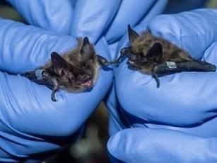 À gauche : une petite chauve-souris brune et une chauve-souris pygmée; à droite : une grande chauve-souris brune. Source : Zoo de Toronto. (Groupe CNW/Société de gestion des déchets nucléaires (SGDN))