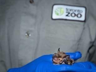 Une grande chauve-souris brune. Source : Zoo de Toronto. (Groupe CNW/Société de gestion des déchets nucléaires (SGDN))