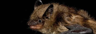 Big brown bat (2); Photo credit: Toronto Zoo (CNW Group/Nuclear Waste Management Organization (NWMO))