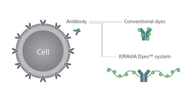 Figure shows a cell with surface antigens to which the antibodies can bind. The structure of the KIRAVIA dyes allow for the fluorescence to be precisely positioned to allow for high fluorescence.