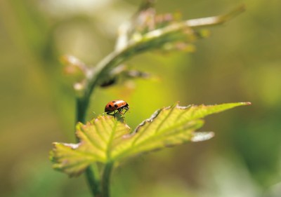 "Natural pest control with beneficial insects such as ladybugs is one of many sustainable winegrowing practices of California wineries, which are celebrating ""Down to Earth Month"" in April. George Rose photo."