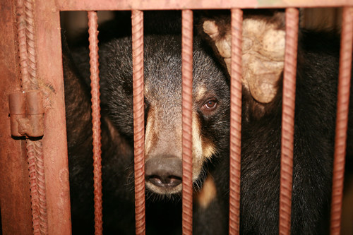 A bear caged on a farm in Asia. Bears are confined so that bile can be extracted from their gallbladders and sold for use in traditional medicine. World Animal Protection has been campaigning to stop this cruel practice. Credit: World Animal Protection (CNW Group/World Animal Protection)