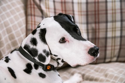 Dalmatian at home with PitPat Dog Activity Monitor on collar