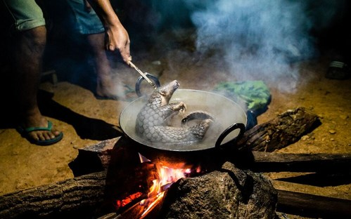 Pangolins are considered the most heavily trafficked animal in the world. These small, shy mammals suffer horrible deaths as they can be boiled alive to remove their keratin scales, which are highly valued in traditional medicine. Their meat is also consumed and is considered a delicacy. Credit: World Animal Protection (CNW Group/World Animal Protection)