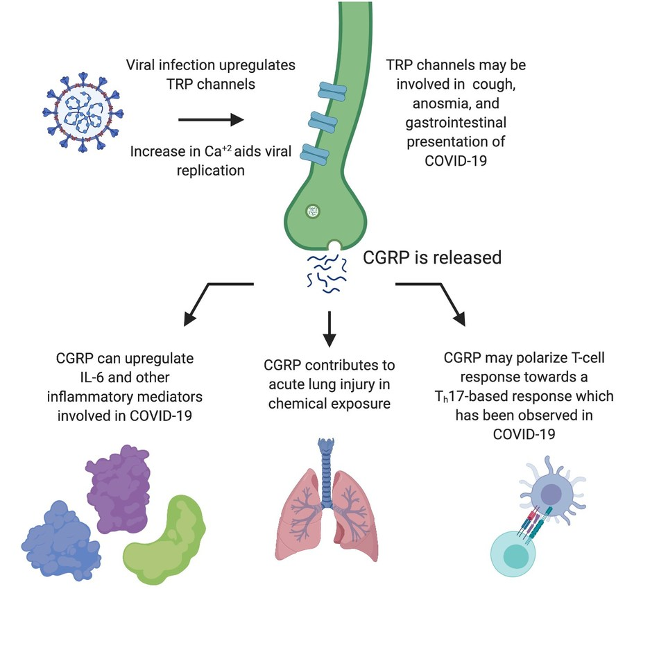 Figure: Potential pathways for CGRP contribution to immune cascade and cytokine storm that may contribute to acute respiratory distress syndrome
