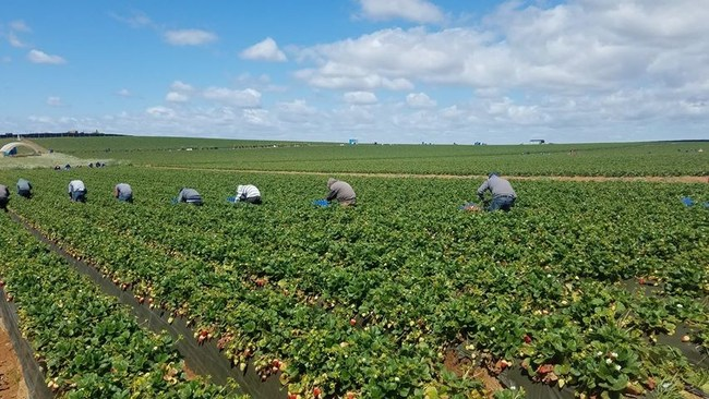 Farmworkers practice social distancing while harvesting strawberries in Baja California, Mexico