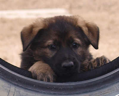 Hayla's litter was one of the first to be born at the Police Dog Service Training Centre in 2020. They will receive some of the winning names from this year's Name the Puppy contest. (CNW Group/Royal Canadian Mounted Police)