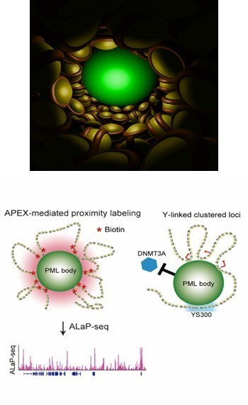 TOP: The PML body (a green spherical structure) Genomic DNA (yellow & brown balls) BOTTOM: The image on the left depicts a graphical representation of ALaP, which facilitated isolation of the PML body-chromatin complex based on the light signals. The image on the right depicts the YS300-bound PML body preventing DNMT3A from accessing nearby genes.