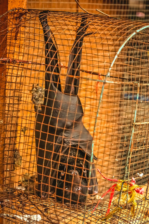 A small black bat for sale at a market in Indonesia. World Animal Protection is working to stop animals like this from being sold in the wildlife trade. Credit: World Animal Protection (CNW Group/World Animal Protection)
